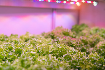 Organic hydroponic vegetable grow Indoor Farm Agriculture Technology