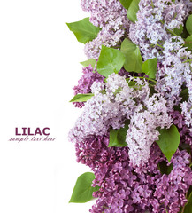Photo sur Toile Lilac Lilac flowers isolated on white background