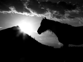 horse black and white photo