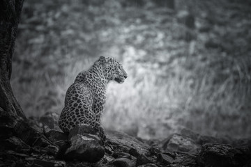 Artistic, black and white photo of majestic leopard in the rain, Panthera pardus fusca, for fineart prints, close up to photographer with a touch of beautiful nature environment.