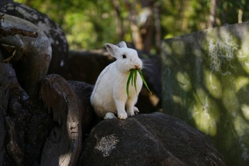 white Rabbit sitting on the rocks It gusto eat morning glory Surrounded by natural beauty