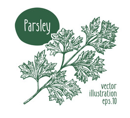 Parsley branch. Vector illustration for design menu, packaging and recipes. Hand drawn vintage illustration.