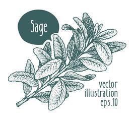 Sage branch. Vector illustration for design menu, packaging and recipes. Hand drawn vintage illustration.