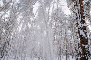 In the winter forest, the severity of the snow breaks the trees