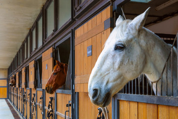 Horses in stable. White horse looking outside from the stall