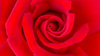 Close up of red rose flower for a background.