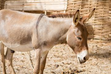 Foto auf Acrylglas Esel âne