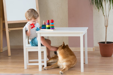 2 years old child playing with building blocks at home, shiba inu dog sitting near boy. Freindship lifestyle concept