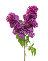 Wall Murals Lilac Flowering branch of lilac