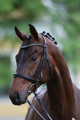 hengst portrait stallion