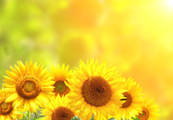 Wall Mural - Sunflowers on blurred sunny background