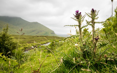 The Scottish Thistle and the Highlands, Scotland