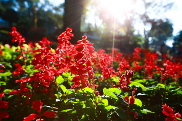 red salvia flowers. flower that symbolizes Asian spring luck