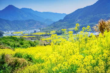 Poster Jaune Landscape of Wuyuan County with Yellow oilseed rape field and Blooming canola flowers in spring. It's very quiet. People refer it to as the most beautiful village of China.