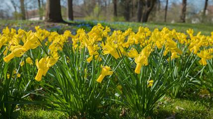 Blumenbeet mit gelben Trompeten-Narzissen im Frühlingspark