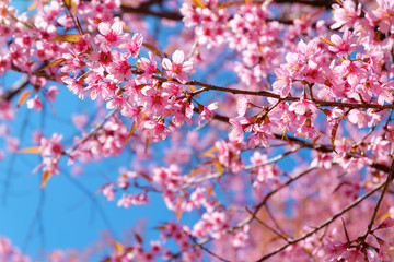 Pink sakura flower with blue sky in spring.   Beautiful cherry blossom. Wall mural