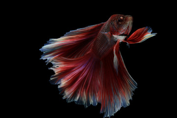 Betta fish, siamese fighting fish betta splendens (Halfmoon fancy white Red betta ),isolated on black background.