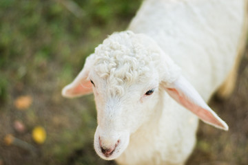 face sheep