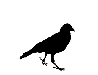 Raven bird black silhouette on white background, vector, eps 10