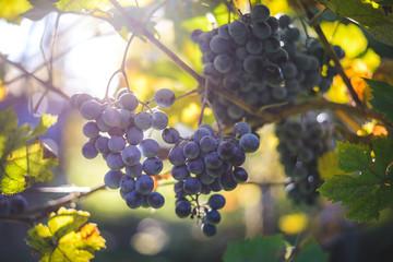 Blue wine grapes in vineyard
