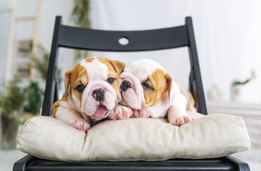 Two pretty puppies of a bulldog