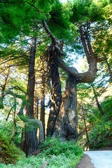 palo colorado road in wildcat canyon california with ancient trees