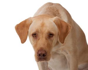Yellow labrador stares into camera