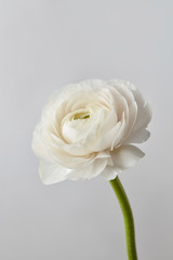 white ranunculus flower on a gray background