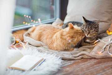 Fototapete - two cats lying on window sill with blanket at home