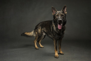 German Shepherd on Grey