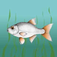 Common roach fish