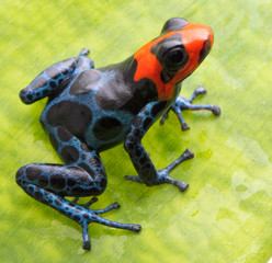 red headed poison dart frog, Ranitomeya benedicta from the tropical Amazon rain forest. Macro of a beautiful small frog with blue netting