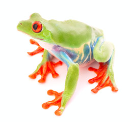 Red eyed tree frog an animal with vibrant eyes. Agalychnis callydrias lives in the rain forest of Costa Rica and Panama. Amphibian isolated on white background. .