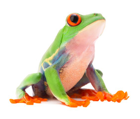Red eyed monkey tree frog from the tropical rain forest of Costa Rica and Panama. A cute funny exotic animal with vibrant eyes isolated on a white background. .