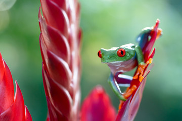 tropical red eyed tree frog ready to jump. This small rain forest animal lives in the jungles of Panama, Costa Rica and Nicaragua. Tropical treefrog from rainforest