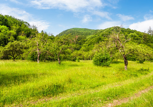 abandoned apple orchard on a grassy field. lovely mountainous landscape in summertime