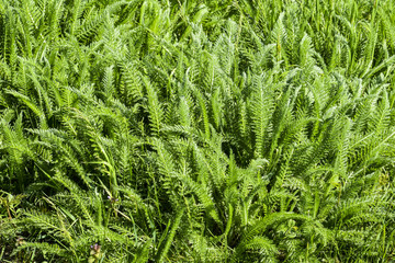 Achillea millefolia spring shoots and leaves of a young plant
