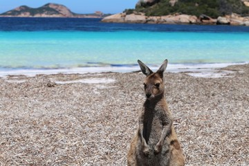 Känguru in Western Australia