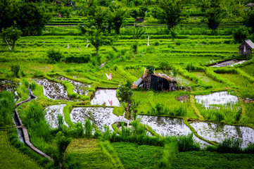 Rice Fields of Asia