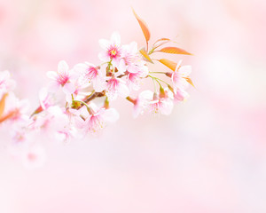 Wild Himalayan Cherry Blossom flowers in spring forest season with beautiful soft bokeh white light, blurry pink background and copy space for text decoration or insertion, spring natural object