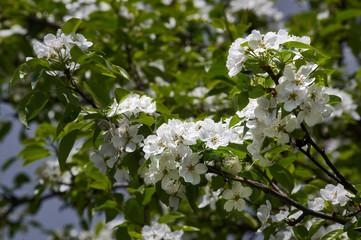 белые цветы и зелёные листья груши на фоне зелёных листьев, white flowers and green leaves of a pear against the background of the green leafes.