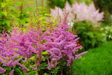 colorful blooming pink astilbe in summer garden in mixed border Wall mural