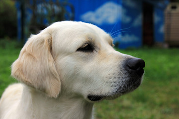 head of white dog Golden Retriever with a black nose and black eyes on green background closeup