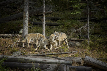 Life in the pack of wolves. Wolf family. Srni, National Park Sumava, Czech Republic.