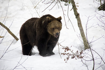 Portrait of Brown Bear on the snow. Bavarian Forest National Park.
