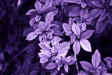 Ultra fioletowe tło z zielonych liści.