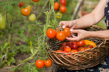 Closeup of woman's hands harvesting fresh organic tomatoes in her garden. Farmer Picking Tomatoes. Vegetable Growing. Gardening concept