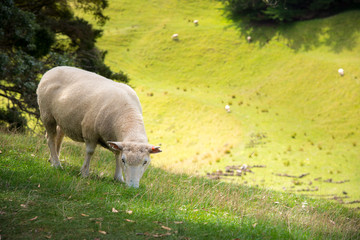 A sheep in agriculture field in the area of One Tree Hill in Auckland, New Zealand.
