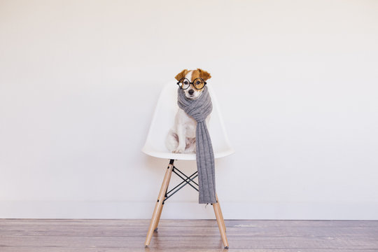 Portrait of a cute young small dog sitting on a white modern chair. Wearing grey scarf and glasses. He is looking at the camera, Home, indoors or studio. White background.
