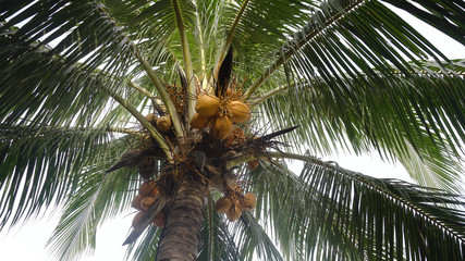 Yellow coconut at tree. Coconuts on a palm tree on a sunny day.
